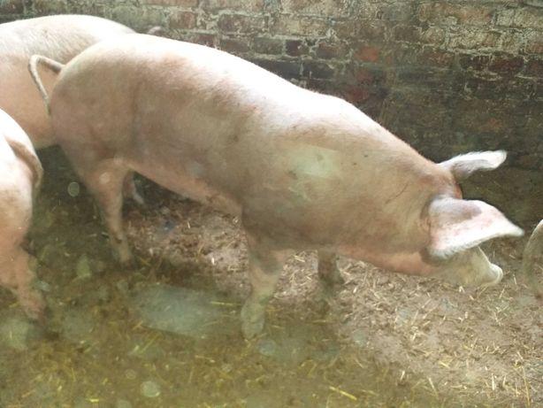 Поросята свиньи мясных пород продам