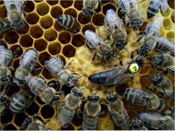 Є в наявності! Бджоломатки Карніка Рауш ( Сергій Рауш) розплідник, Ф1