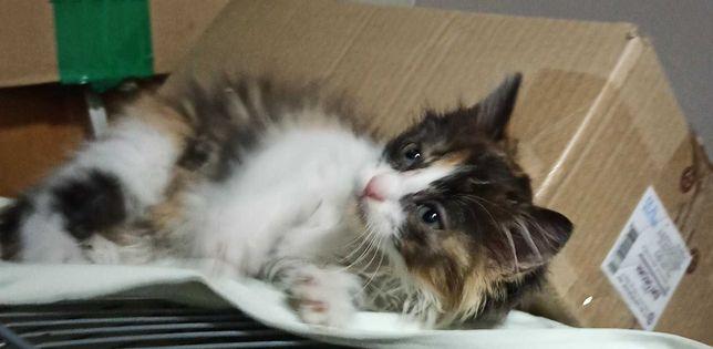 Трехцветный котенок девочка в добрые руки