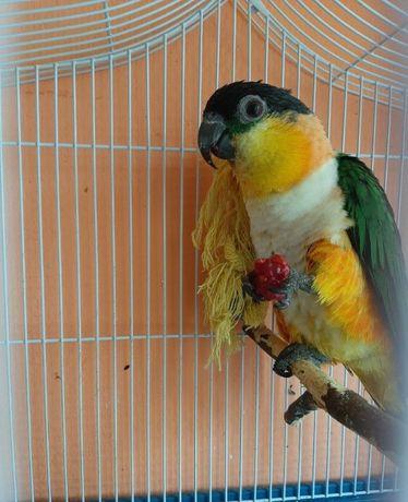 Идеальный попугай - каик звезда интернета