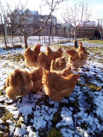 Цыплята породы джерсийский гигант,виандот,орпингтон,гриз бар
