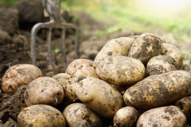 Sprzedam jadalne ziemniaki