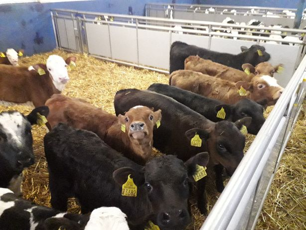 Cielęta, jałówki, byczki, mięsne i inne sprzedam, transport na miejsce