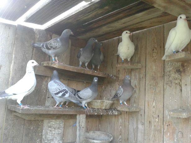 Młode gołębie z 1 lęgu