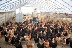 Kury młode Nioski z jajkiem kurki z dowozem na całe województwo GRATIS
