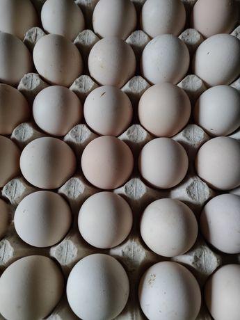 Яйцо  инкубационное, от курочек несушек породы Леггорн.