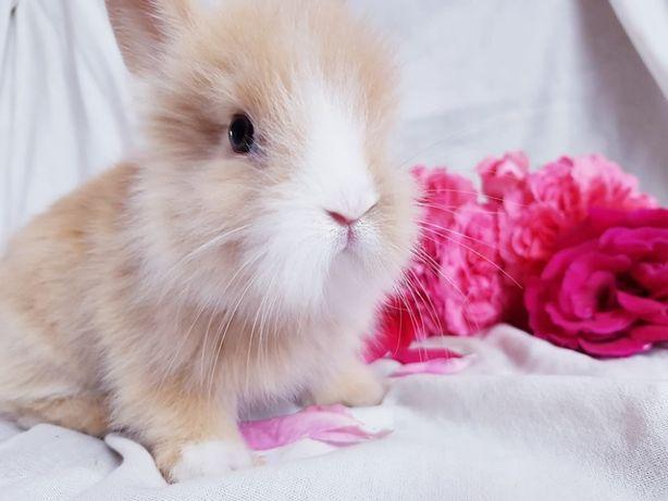 Malutkie Królik króliki miniaturka miniaturki