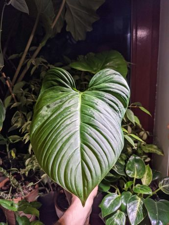 Philodendron fuzzy petiole filodendron