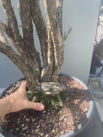 Pré bonsai Callistemon