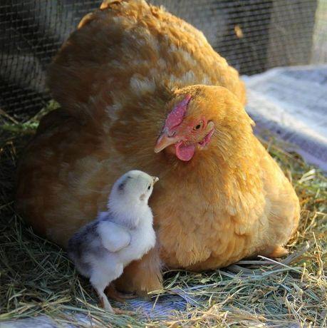 Квочка с цыплятами. Курица с цыплятами
