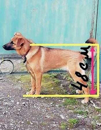 Отдается красавица щенок Берта_2 (8 месяцев) добрая, игривая, ласковая