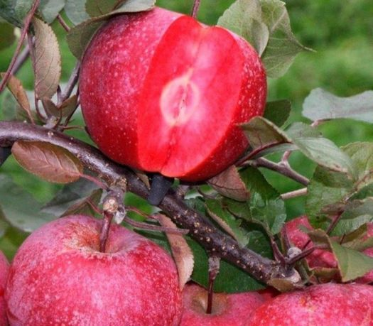 Качественные саженцы красномясых яблонь на ММ-106 без посредников.