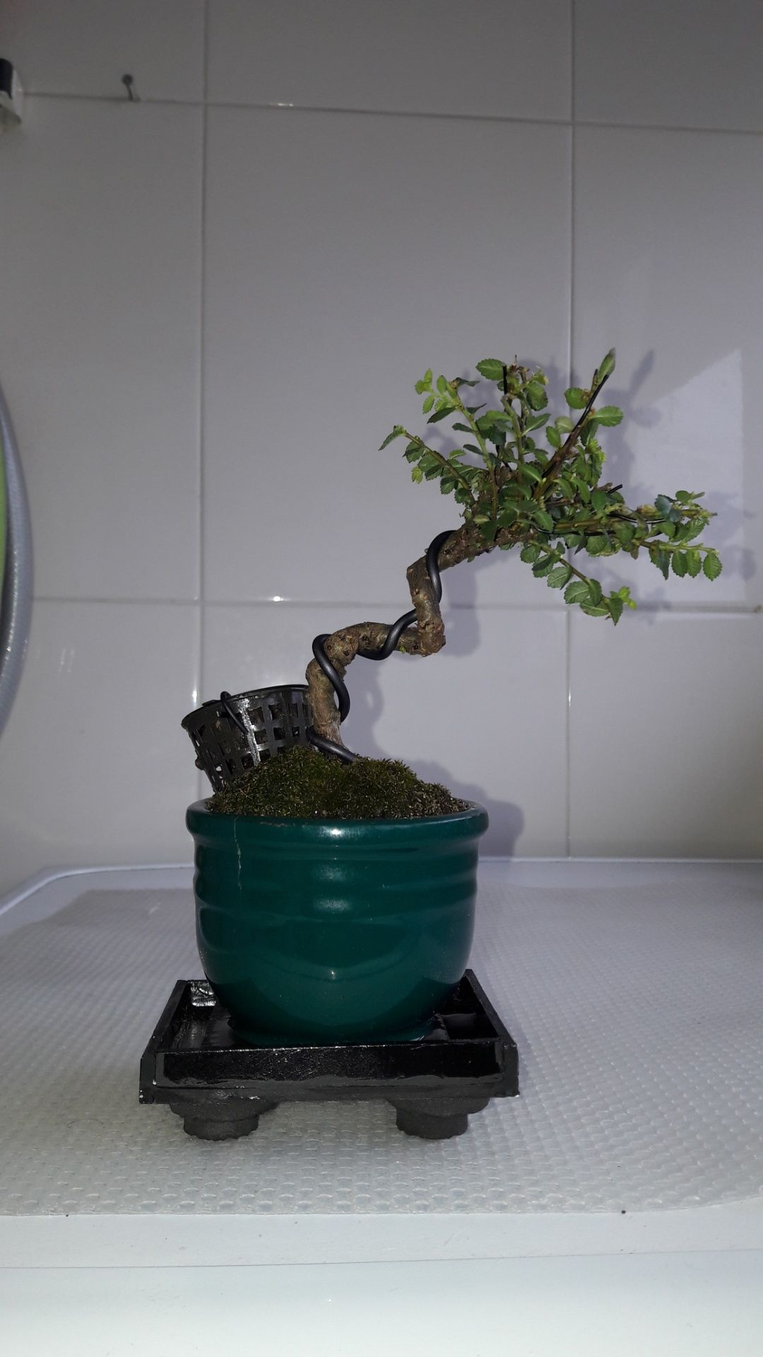 Bonsai mame ulmus Hokkaído