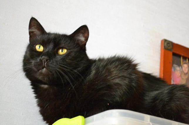 чорна стерилізована кішка 2р