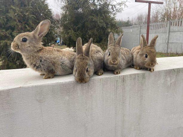 Młode króliki wiedeński niebieski