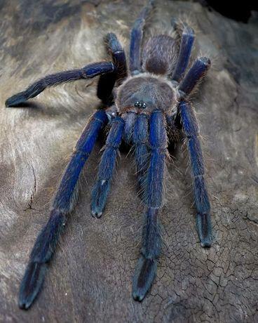 Chilobrachys sp. Vietnam Blue малыша паука птицееда 18+