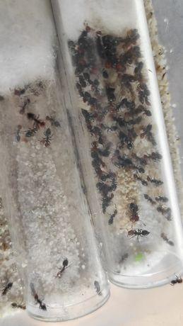 Mrówki crematogaster scuttelaris Q-50w