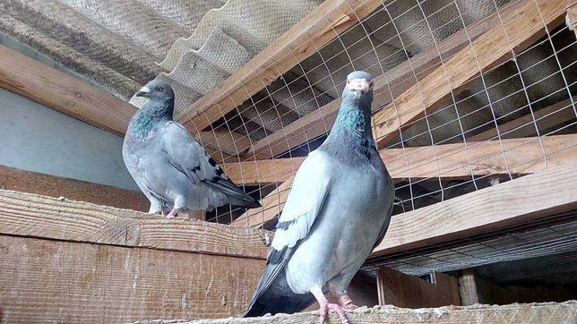 Продам голубей спортивных