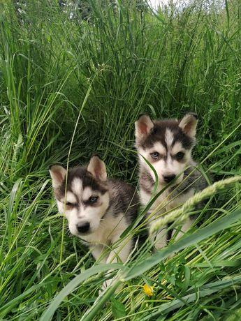 Siberian Husky szczenięta