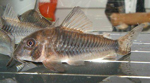 Kirys septentrionalis od 10 sztuk po 12 zl