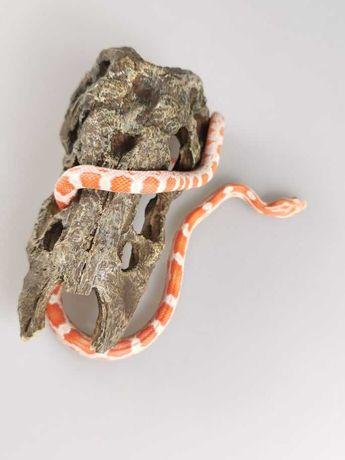 Pantheropis guttatus Wąż zbożowy Candy Cane samiec Z32
