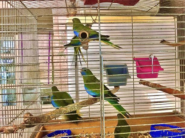 Травянной глянцевый попугайчик