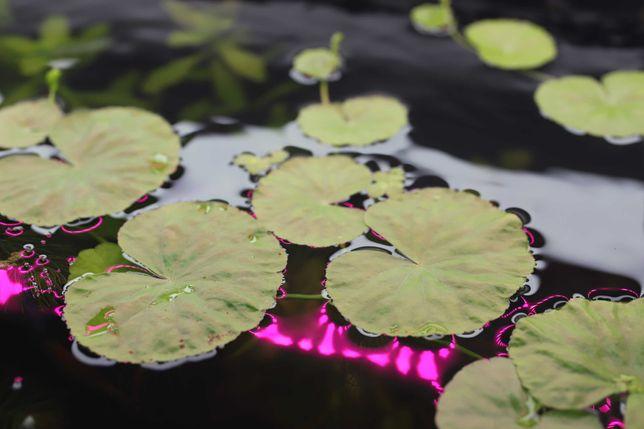 Аквариумные растения роголистник, щитолистник, гигрофила, дубок