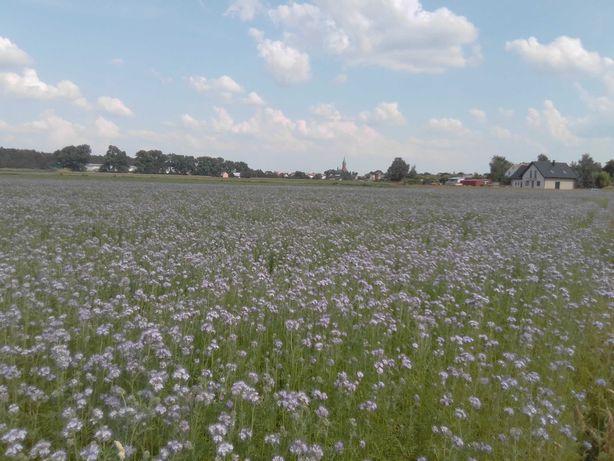 Facelia Błękitna nasiona