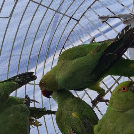 Papagaio Ring Necks portador de amarelo