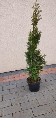 Tuja Szmaragd (Szkółka drzew i krzewów ozdobnych)