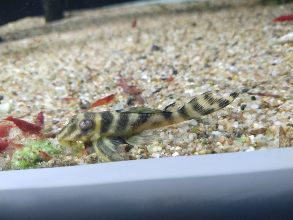 Zbrojnik glonojad L199 Hypancistrus furunculus Yellow Zebra/rybki Toruń - image 1