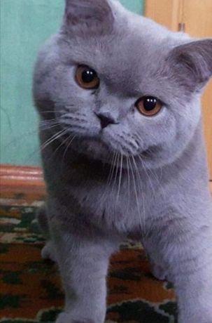 Кот британец, вязка