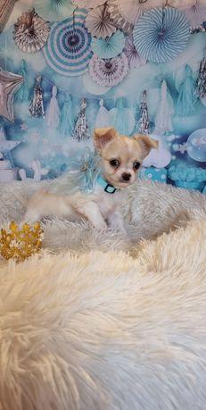 Chihuahua maravilhoso de pêlo longo exemplar top top