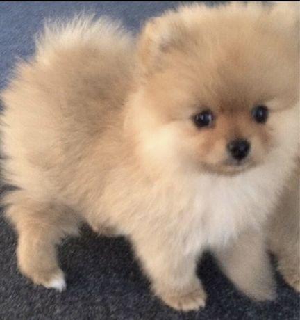 Pomeranian szczenięta