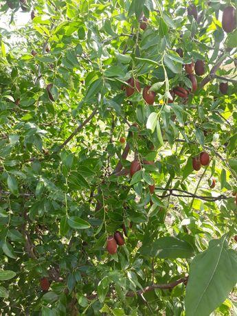 Саженцы унаби инжира граната  и плодовых деревьев