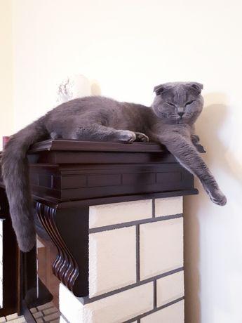 Котик кіт шотландський весловухий віддам в добрі руки