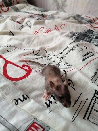 Крысенок в добрые руки