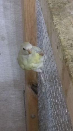 Papuga młoda 2020/zamienię