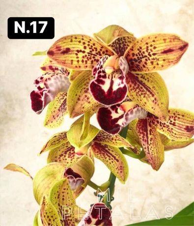 Orquídeas de coleção