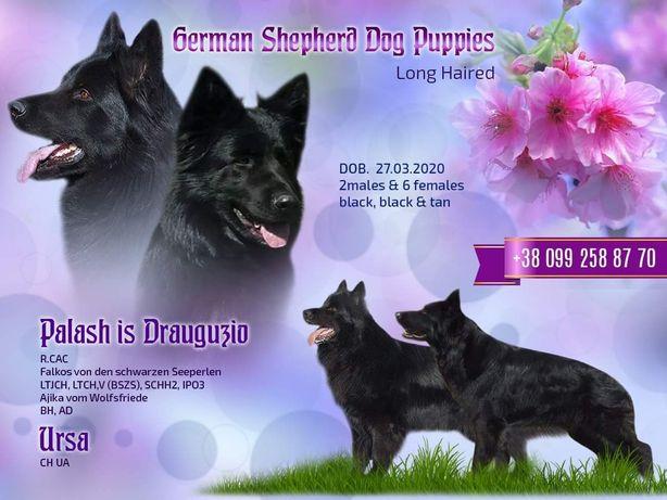 Питомник предлагает щенков немецкой овчарки длинношерстные