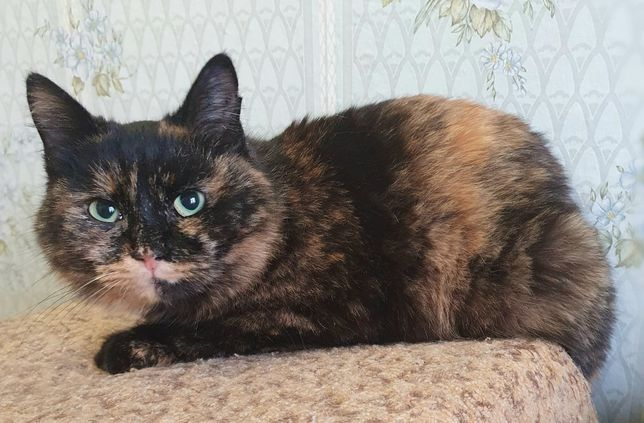 кошка черепашка, стерильна, 8 мес. Кот, кошка, котенок, кошечка