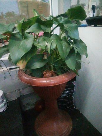 Цветок калла в вазоне