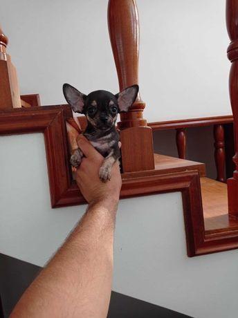 Maravilhoso MACHINHO Chihuahua  Superminiatura com LOP e AFIXO