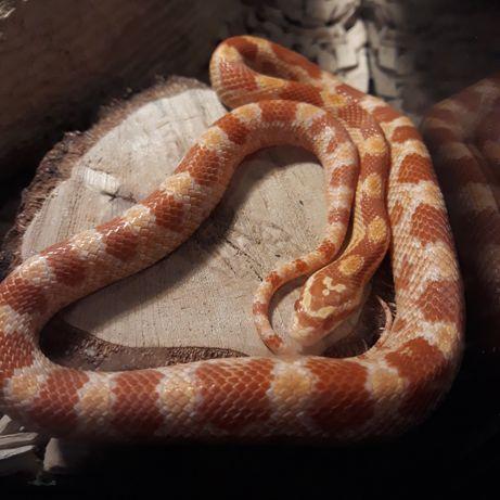 Wąż zbożowy  wąż zbożowy