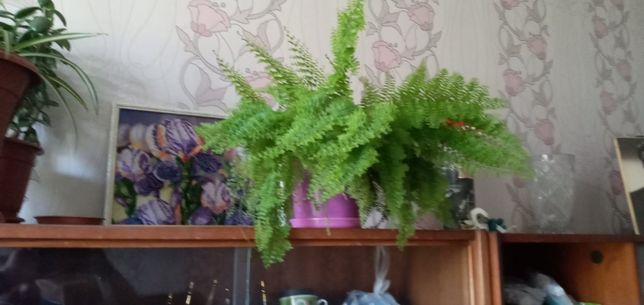 Продам цветы. Папоротники