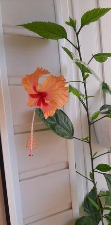 Персиковый гибискус