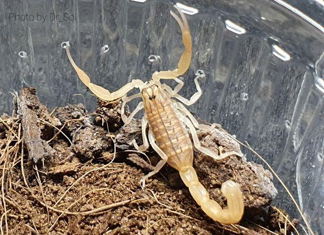 Скорпион Mesobuthus gallianoi l3