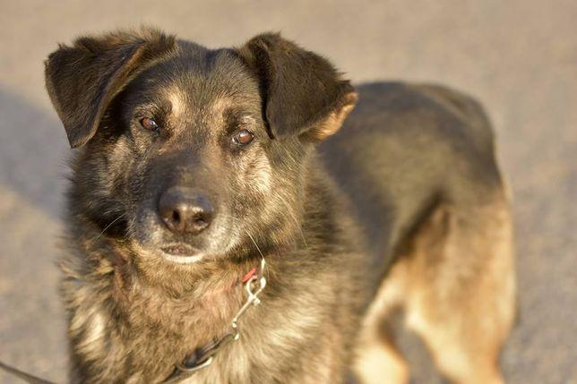 Duży, dorosły pies do adopcji - Karim