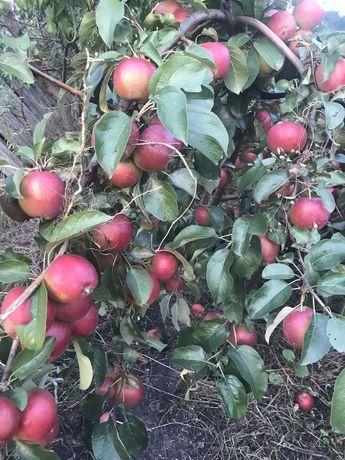 Саженцы яблонь, берёзок,елочек