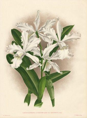 ORCHIDEE- STORCZYKI reprodukcje XIX w. grafik do aranżacji wnętrza